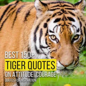 Read more about the article Best 150+ Tiger Quotes On Attitude, Courage | Quotes For Inspiration